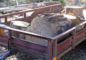 bucked sassafras tree sections