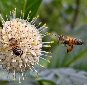 Honey Bees on Buttonbush