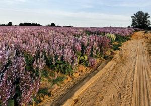 Clary Sage Field