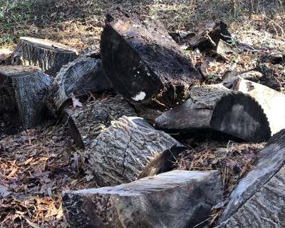 rough poplar burl wood turning blanks