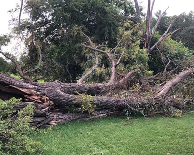 Walnut Tree Storm Damage