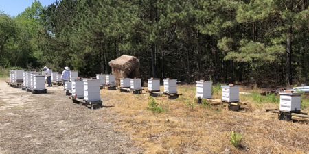 Langstroth hives set up for North Carolina honey production